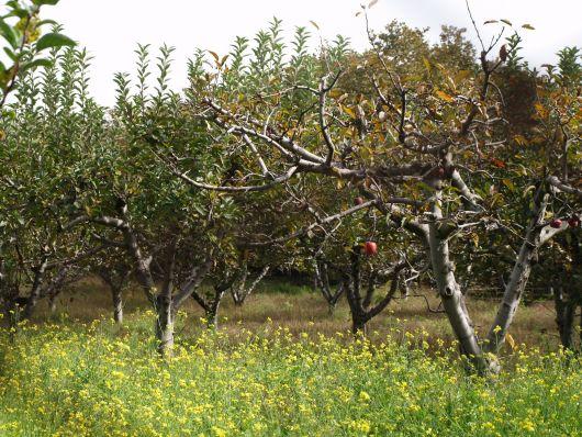 Alberi di mele rosse dell'Etna