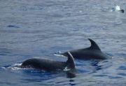 Delfini a Lipari